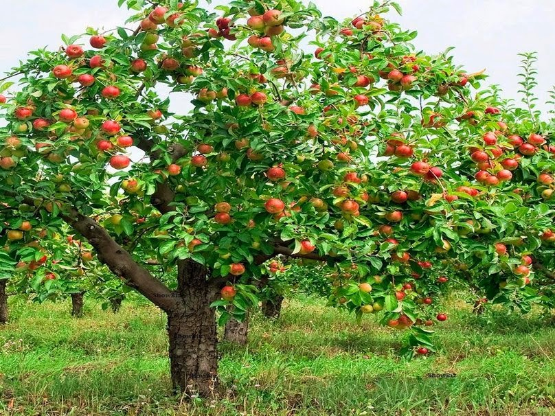 How To Grow An Apple Tree From Seed The Garden Of Eaden