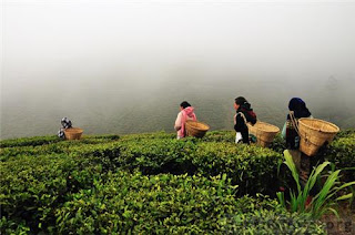 Jogmaya tea estate