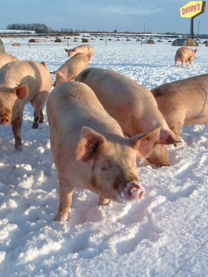 Pigs in the snow with a Denny's sign in the background