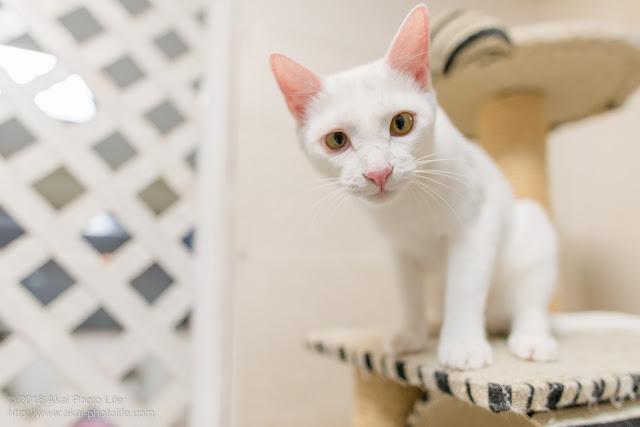 猫カフェ 西国分寺シェルターで撮影した白猫の写真 2枚目