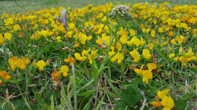 bird's foot trefoil Lotus corniculatus flowers and leaves