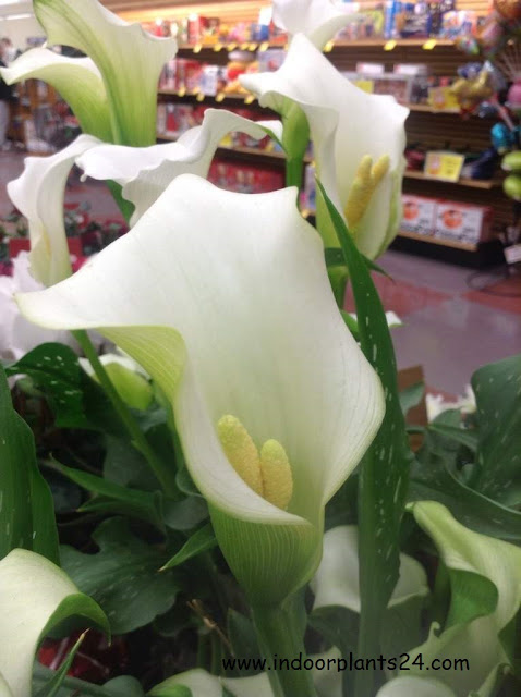 Araceae White calla lily indoor plant facts information
