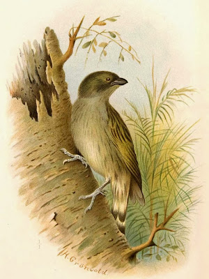 Willcock´s Honeyguide