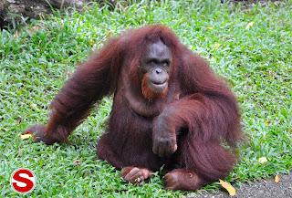 Gambar Orangutan (Pongo pygmaeus)