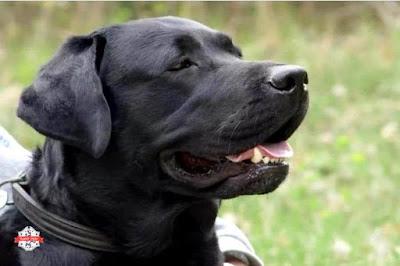 Labrador Retriever)