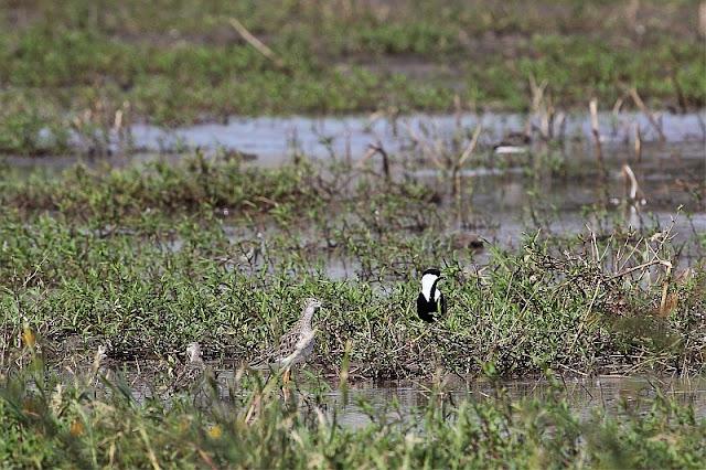 spur-winged plover (Vanellus spinosus) und a ruff