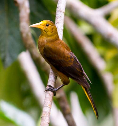 Russet-backed oropendola - Psarocolius angustifrons