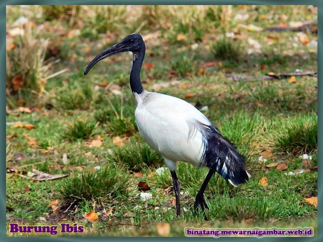gambar burung ibis