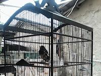 Tips Merawat Burung Kacer Mbagong Agar Kembali Normal