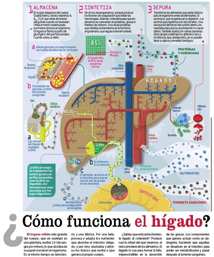 Tapas de Ciencia: Así funciona el hígado humano
