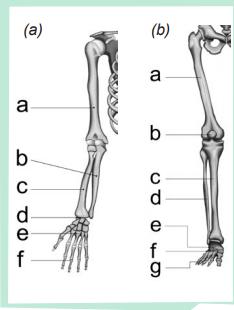 Gambar (a) Tulang anggota gerak atas  dan (b) tulang anggota gerak bawah