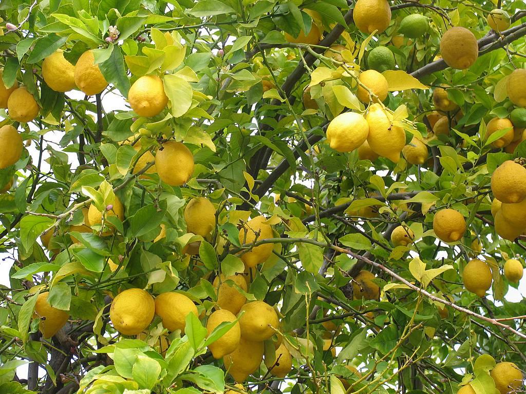 buaiku laju-laju: Lemon Trees