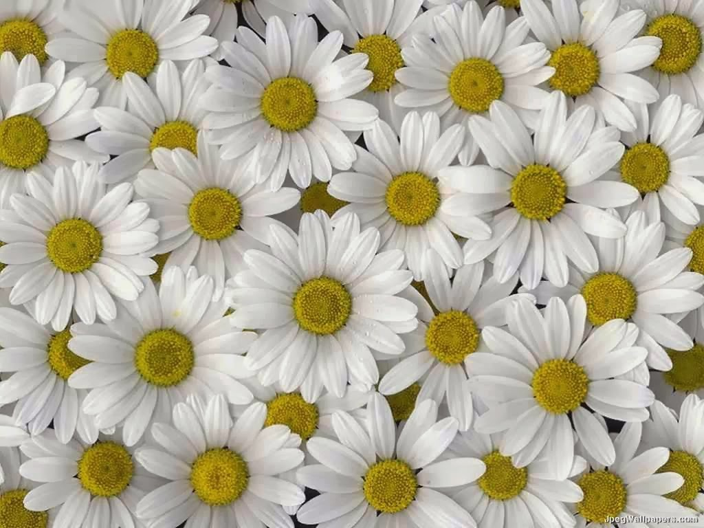 Daisy flower wallpaper - beautiful desktop wallpapers 2014