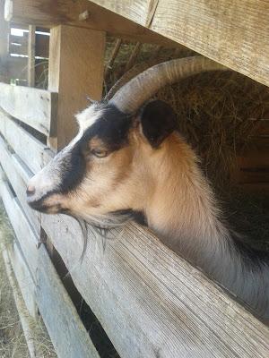 Vidéki élmények kecskével