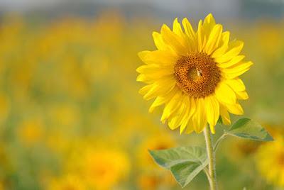 Hoa hướng dương đẹp nhất thế giới 9