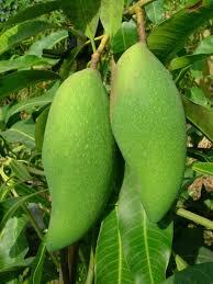 kandungan gizi buah mangga
