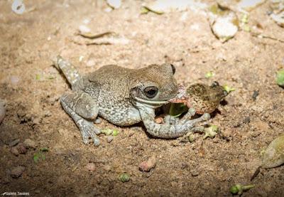 canibalismo, sapos, tocantins, sapo comendo sapo, pererecas, rãs, predação de sapos, frog-eat-frog, frog-on-frog predation,  fotógrafa, fotografa de natureza, natureza, flagra, Blog Natureza e Conservação, Tocantins, Formoso do Araguaia, frog, predação de sapos, anfíbios, Brasil, fotos de sapos, fotos de anfíbios