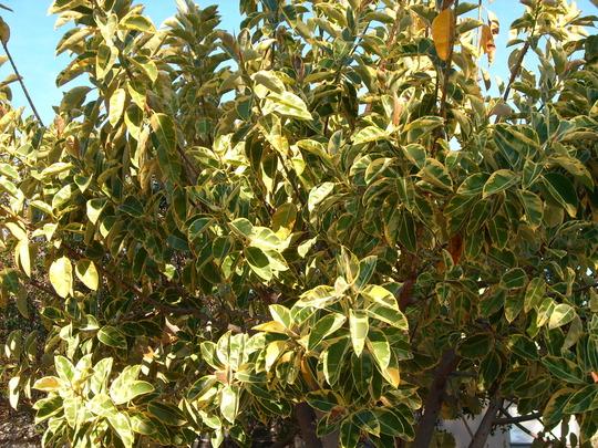 Por que existem plantas de folhas manchadas blog arco - Ficus elastica cuidados ...