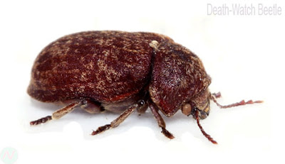 Death-watch beetle insect