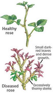 Differentiating between a healthy rose and a diseased rose rose rosette disease pictures
