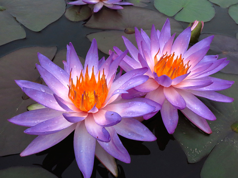 Jayaravas raves lotus synonyms in sanskrit water lilies mightylinksfo