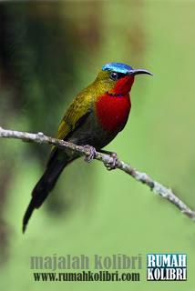 kolibri gunung gacor