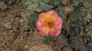 Rose Flower in National Rose Garden Delhi 2083
