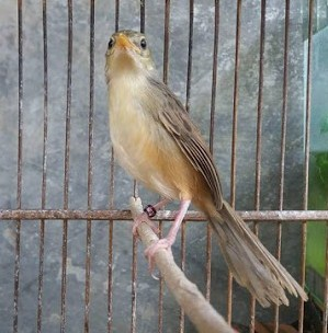 10 Ciri Ciri Fisik Burung Ciblek Gunung Muda Hutan Jantan Paling Akurat Kicau Mania