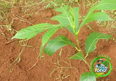 Cara menanam pohon Sukun