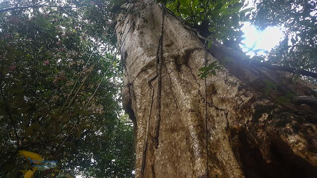 Hang dơi trong thân cây cổ thụ trong rừng Nam Cát Tiên