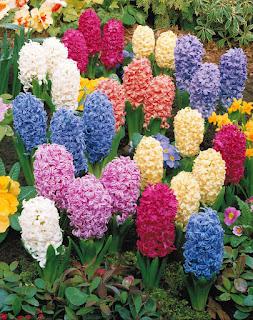 https://fr.wikipedia.org/wiki/Hyacinthus