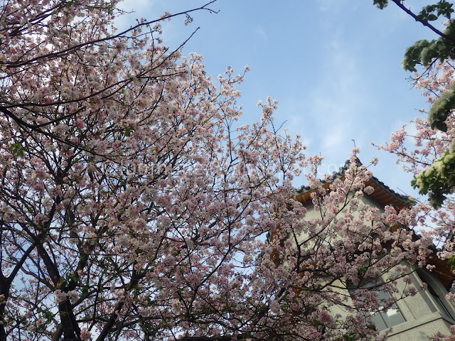 Taipei cherry blossoms
