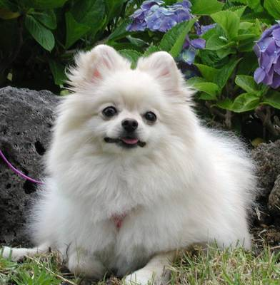 Animals Plannet Pomeranian Dogs Wallpapers