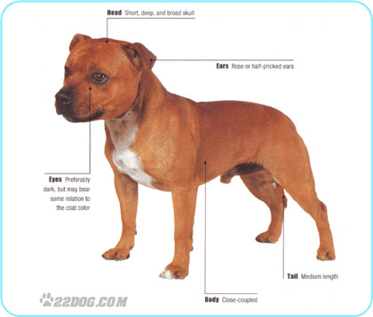 The History Of Staffordshire Bull Terriers October 2012