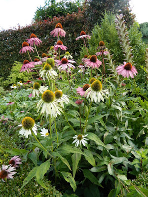 Toronto Botanical Garden Purple Coneflowers Echinacea purpurea by garden muses-not another Toronto gardening blog