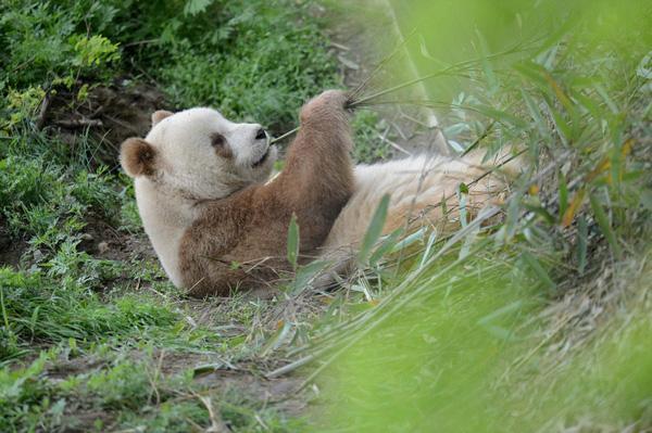 Loài gấu trúc cực hiếm mang màu lông nâu khác thường