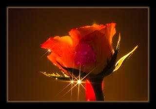 PASO UN ÁNGEL POR MÍ VIDA Y SE QUEDO Sternchen-Rose-a27057775