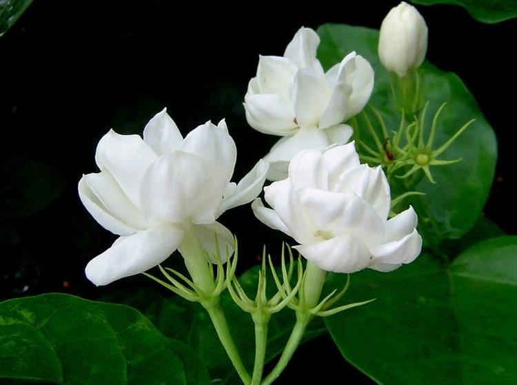 Manfaat Bunga Melati untuk Mengobati Penyakit