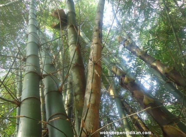 Bambu Ampel