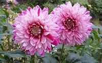 Dahlia, nome comum dália. É uma planta de porte médio e de ciclo de vida longo. Quando adulta, a planta chega a atingir até 1,50 metro.  A planta floresce na Primavera e no Verão, tem flores várias cores. É originária do México, onde é muito popular.