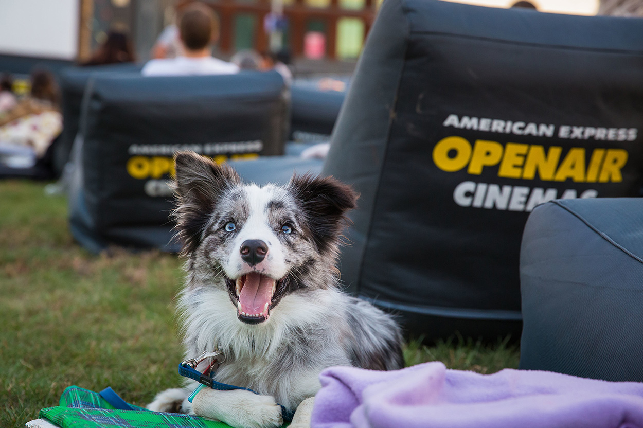 Smiling Australian Shepherd at the dog-friendly American Express Openair Cinemas in Metcalf Park Pyrmont Sydney