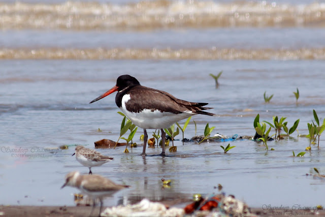 Eurasian Oystercatcher, also are the Little Stint and Kentish Plover
