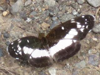 Castilia ofella, White-dotted Crescent