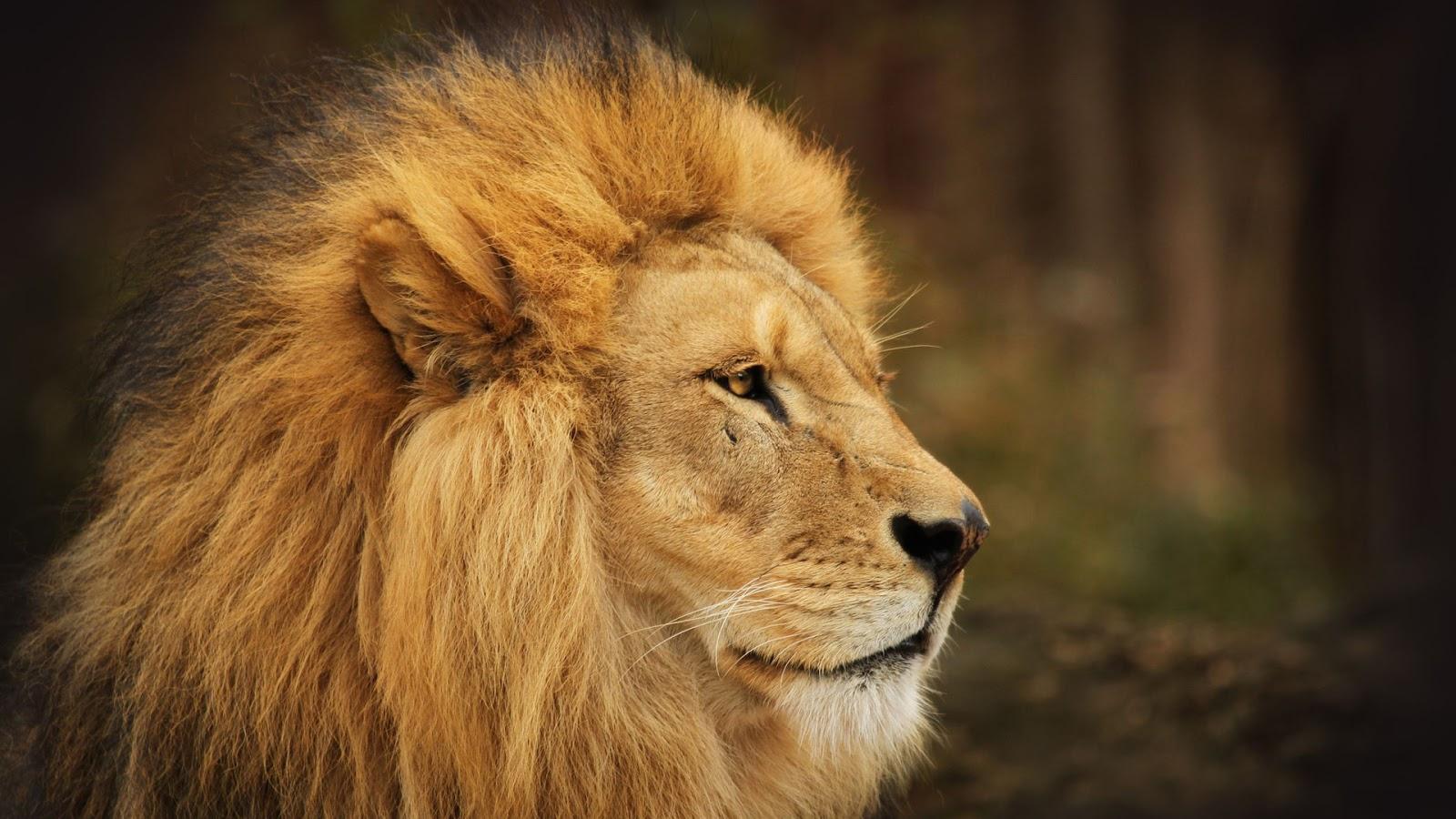 HD Wallpapers: Beautiful Lion