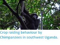 http://sciencythoughts.blogspot.co.uk/2014/11/crop-raiding-behaviour-by-chimpanzees.html