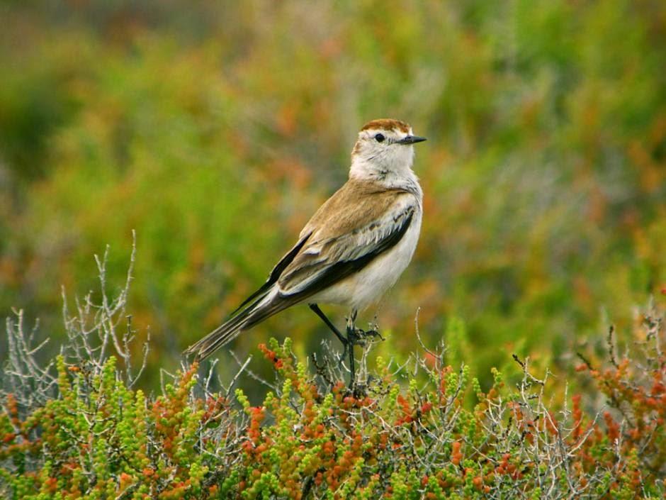 tyrant birds argentina