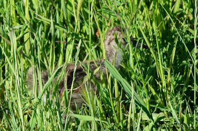 Young Western Willet. © Shelley Banks, 2013, all rights reserved.