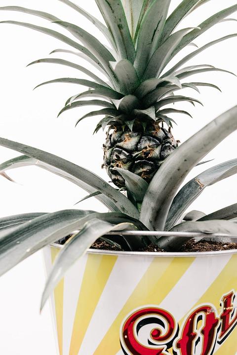 ananasplant verzorgen