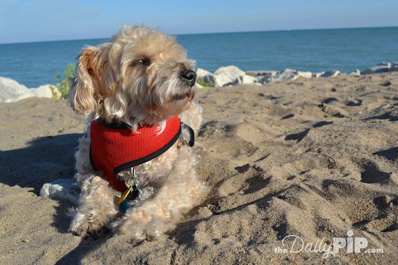 Ruby, the rescued Yorkie-Poo, at the beach in the sun on wordless wednesday