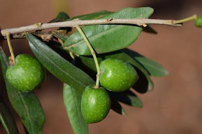 daun zaitun, herbal, kandungan nutrisi daun zaitun, kecantikan, manfaat daun zaitun, Manfaat Tanaman Herbal, minyak zaitun, Olea europaea,